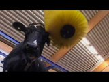 Swinging cow brush SCB DeLaval